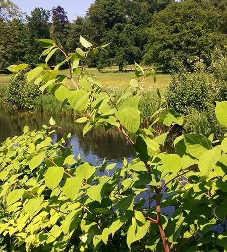 volwassen plant japanse duizendknoop